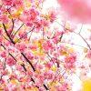 八重岳 桜まつり を10倍楽しむ5か条
