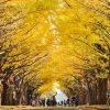 北海道大学のイチョウ並木が完全にスイート・ノベンバーな件